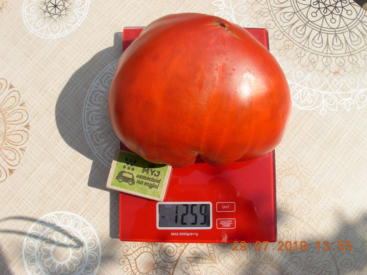 Pomidor gigant wyrósł na jednej z działek w Rodnowie, w gminie Bartoszyce.