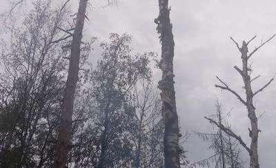 Podczas burzy spłonęła samotna brzoza