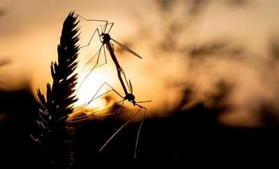 Komary lubią zapach strachu