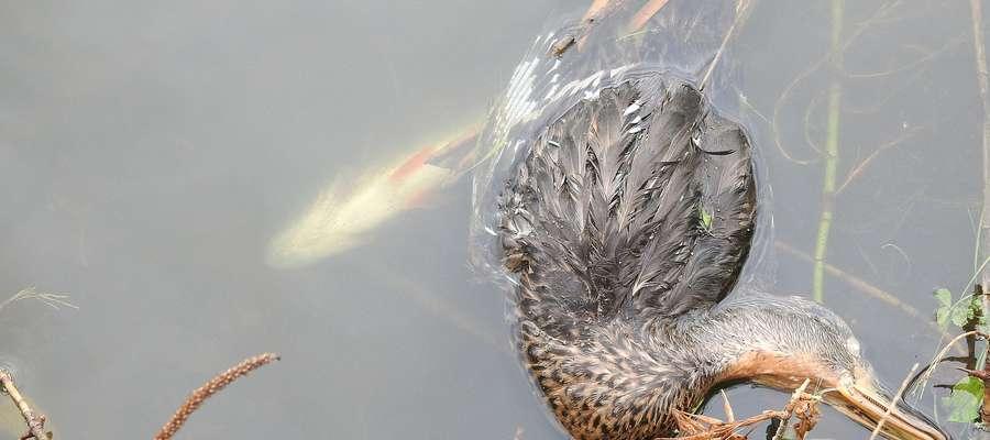 Martwa krzyżówka i śnięta ryba sfotografowane 8 sierpnia na jeziorku przy ul. Warszawskiej w Bartoszycach.