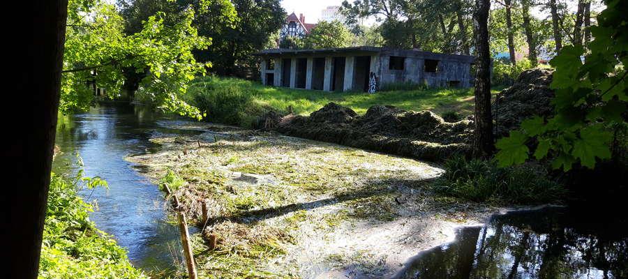 Hałdy skoszonego zielska zatrzymane w nurcie Łyny oraz zalegające jej brzegi
