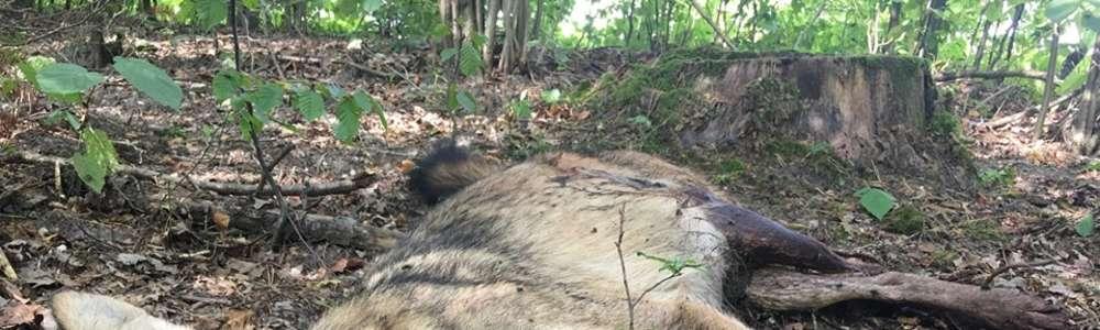 Dwa wilki zostały zastrzelone! Jeden z nich był długo rehabilitowany w Napromku