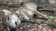 Myśliwi zastrzelili dwa wilki. Jeden z nich był pacjentem ośrodka w Napromku pod Lubawą