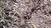 Żmija zygzakowata przy ul. Usługowej. Policjanci i strażacy wywieźli ją do lasu
