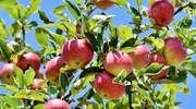 Jak zrobić ocet jabłkowy domowym sposobem? Najlepsze przepisy 2019