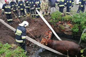 Strażacy wyciągnęli byka z szamba