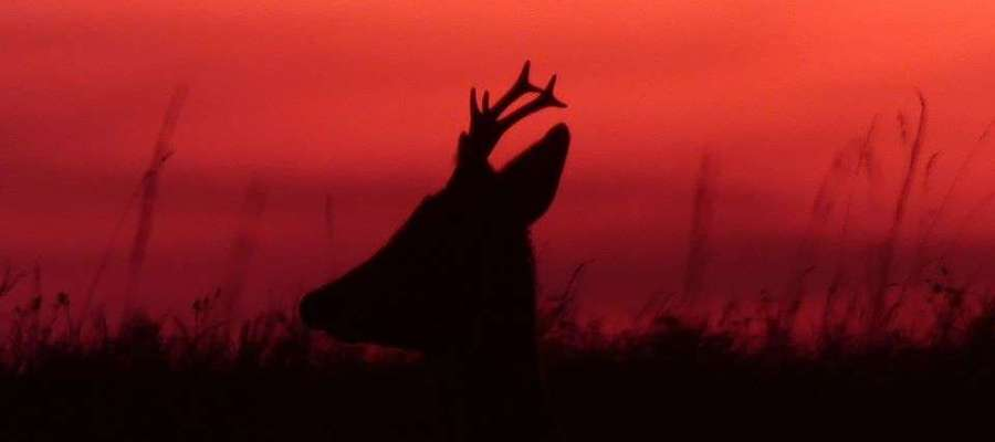Koziołek sarny o zachodzie słońca