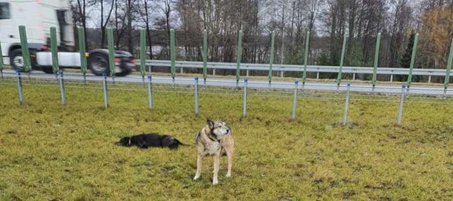 Jeden pies leżał ranny, drugi był obok i nie opuszczał przyjaciela