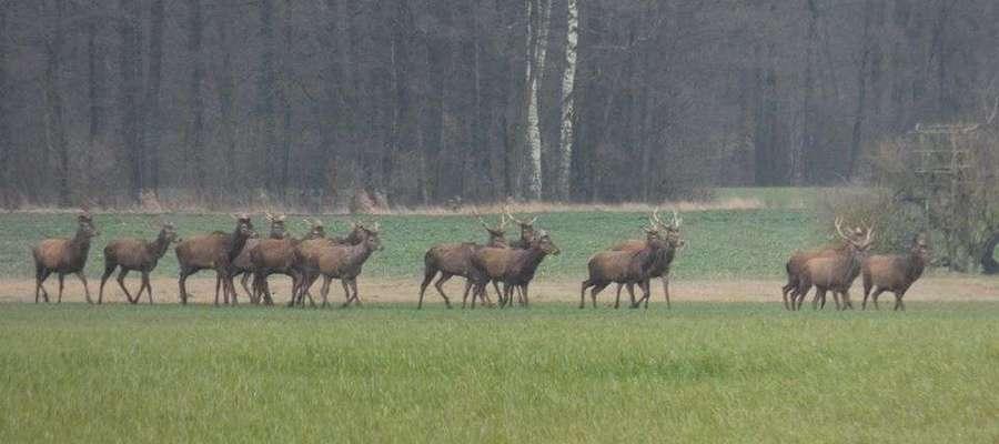 Stado jeleni spotkanie podczas spaceru