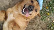Polecamy do adopcji: pies Roki - energiczny towarzysz