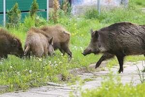 Populacja dzików w Olsztynie zmniejszyła się o 1/4. To efekt działań miasta oraz rozprzestrzeniania się ASF