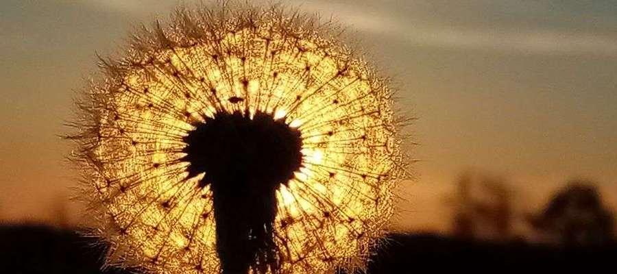 Zachód słońca za dmuchawcem.