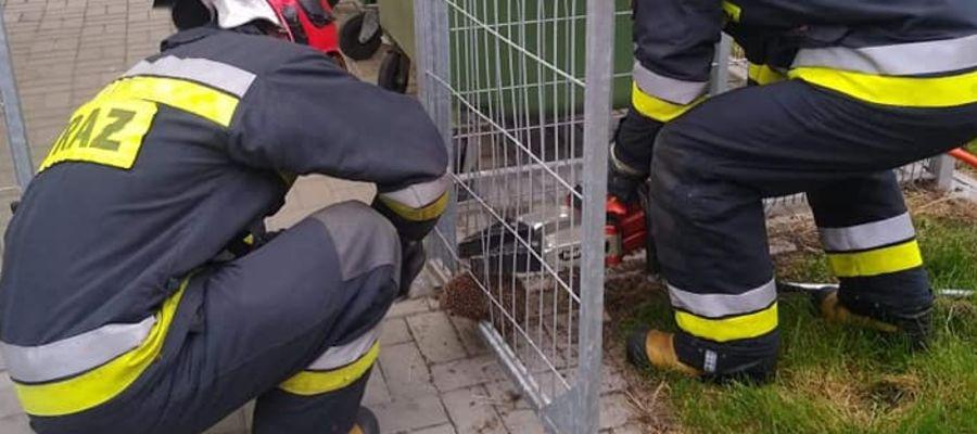 Do uwolnienia jeża strażacy użyli narzędzi hydraulicznych.