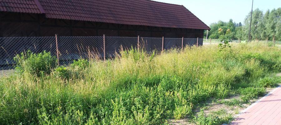 Trawy w centrum Ostródy są na równi z płotem