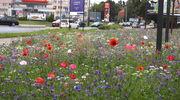 Zachwycająca łąka kwietna w Ostródzie