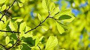 W Rynie sadzą drzewa