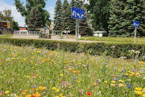 Kwietne łąki coraz bardziej popularne