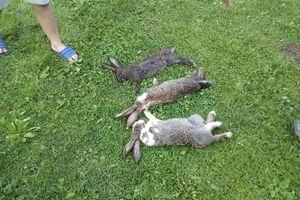 Psy wdarły się na prywatną posesję i brutalnie zagryzły króliki