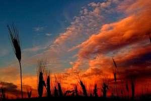 Zdjęcie Tygodnia nr 178. Niebo i kłosy