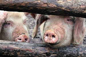 Pomoc dla producentów rolnych, którzy zaprzestali produkcji świń.
