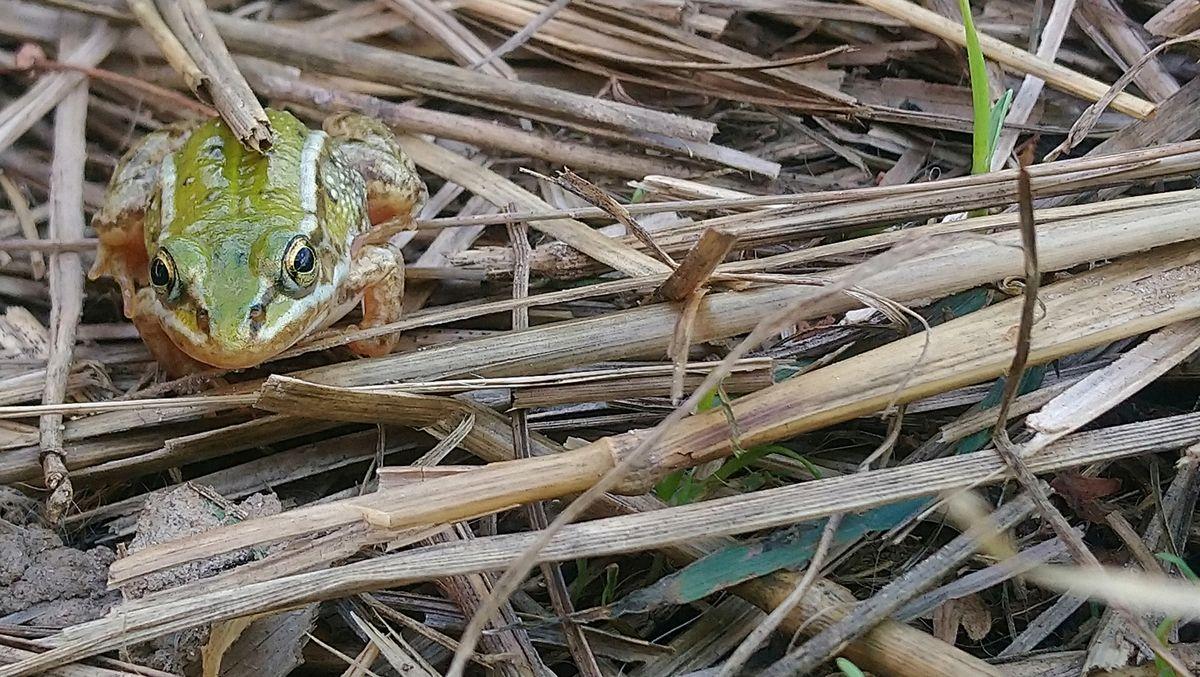 Olsztyńska żaba