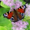 Wymień zdjęcie na prenumeratę: Rusałka pawik ze Szczytna