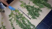 Siedem sadzonek i susz konopny w mieszkaniu 46-latka