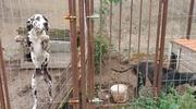 Policja bada sprawę psów uratowanych przez OTOZ Animals Iława