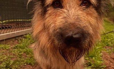 Borys - psiak o wyjątkowej urodzie szuka domu