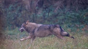 Na widok aparatu fotograficznego wilk zwiał