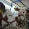 Wjechali w krowy. Trzy osoby ranne