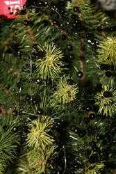 Kupujemy świąteczne drzewko