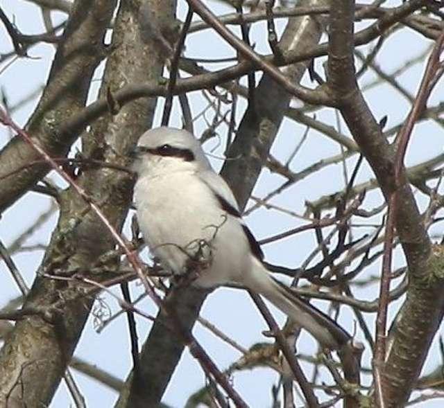 Srokosz - ptak z piekła rodem - full image