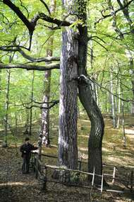 Zakochane drzewa w Krutyni