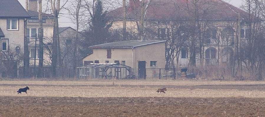 Psy wałęsające się w pobliżu Olszewa