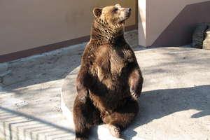 Niedźwiedzie – największa atrakcja zoo w Braniewie
