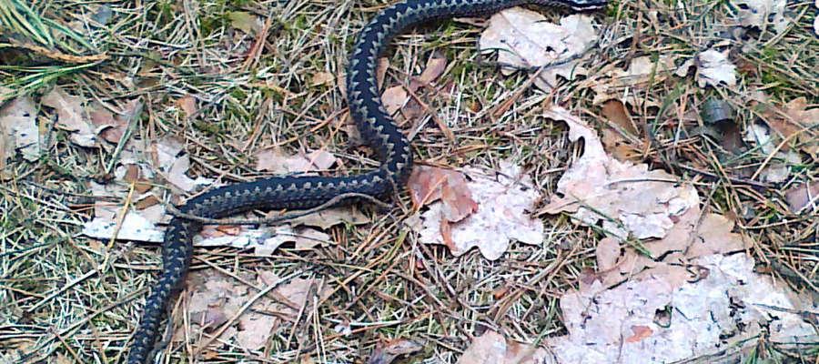Ta żmija pozwoliła się sfotografować we wtorek, 3 kwietnia, w lesie w okolicach Leman