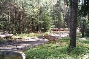 Wiemy, ile wilków i rysi jest w lasach na Warmii i Mazurach
