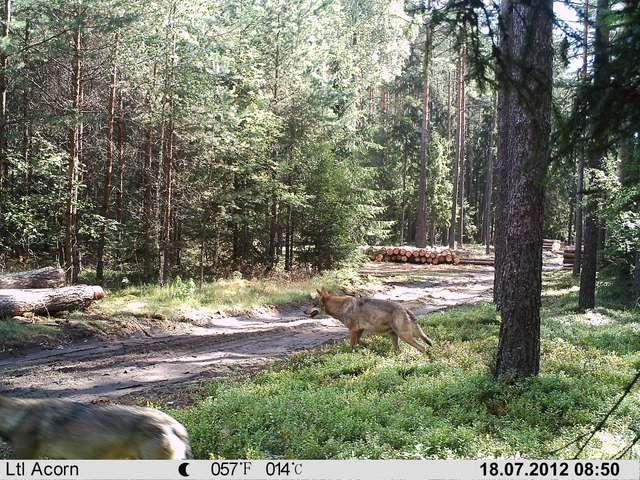 Wilki spokojnie spacerowały opodal miejsca, gdzie trwały prace leśne.     - full image