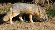 W lasach trwa szczepienie lisów przeciwko wściekliźnie. Wojewódzki Lekarz Weterynarii apeluje o ostrożność
