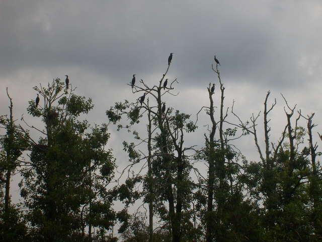 Odchody kormoranów działają niszcząco na środowisko, co widać po tych drzewach. - full image