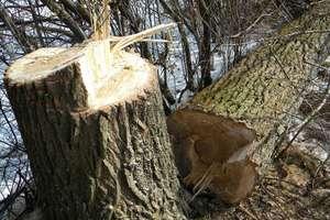 Uciekał policji bo ściął wysokie drzewo