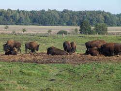 Stado bizonów, pasące się w okolicach Kwitajn Wielkich jest prawdziwą atrakcją turystyczną tych okolic
