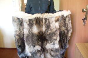Dwie skóry z wilka próbowała przemycić obywatelka Rosji