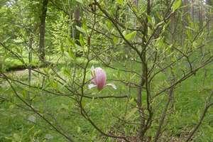 W Kudypach zakwitły magnolie