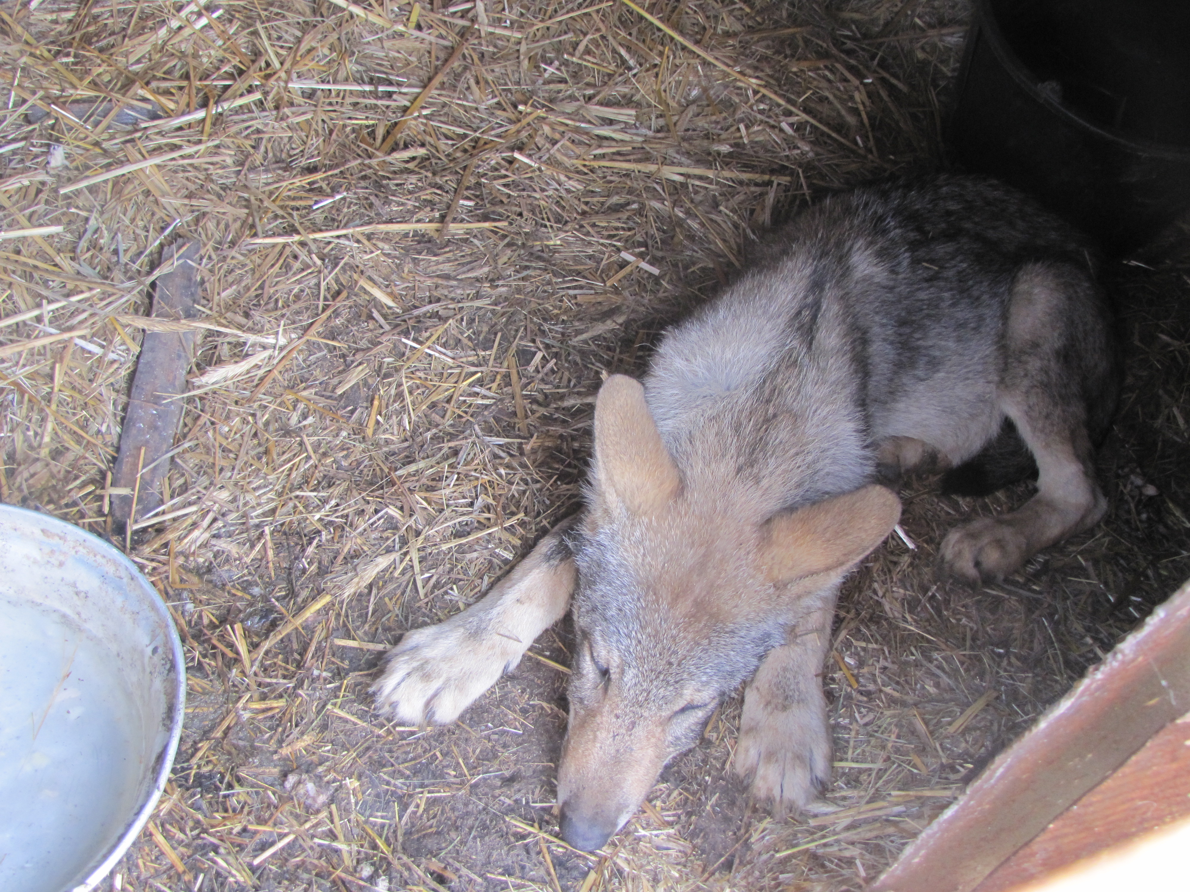 Poważnie Skąd młody wilk wziął się na posesji w Smolanach? - Janowiec Kościelny OL33