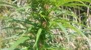 17-latek miał plantację konopi w trzcinowisku