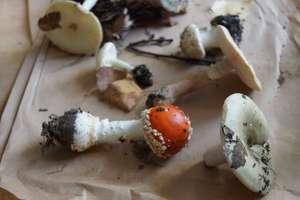 Zapraszamy na wystawę grzybów
