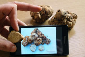 Elblążanin znalazł grzyby przypominające cenne... trufle!