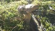 Ostatni prawdziwek w mazurskich lasach